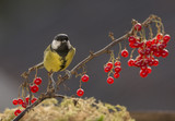 red currant branch with a titmouse - 191820205