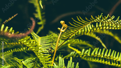 Fotobehang Planten Natural background. Unravelling fern frond closeup. Thailand