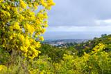 Vue sur la ville Mandelieu-la-Napoule, France, Provence-Alpes-Côte d'Azur. Arbres de mimosa au prtmier plan. - 191835036