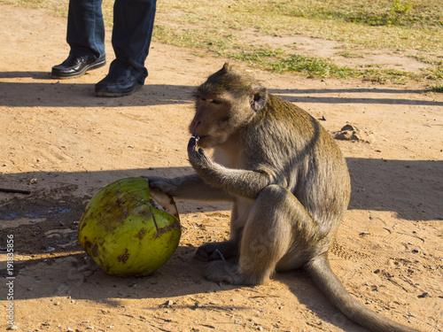 Fotobehang Aap Wildwife monkey in Angkor Wat Temple in Cambodia