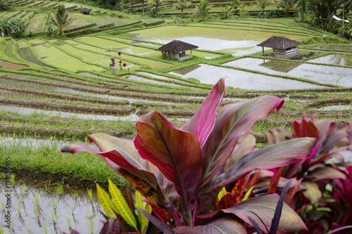In de dag Bali Индонезия. Рисовые террасы.