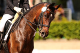 Horse in close-up in the dressage competition at the tournament course.. - 191839876