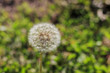 Beautiful close up shot of Taraxacum