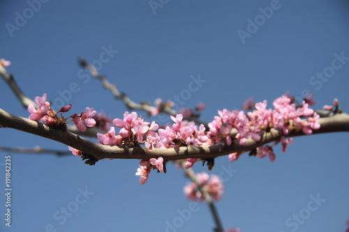 kwitnąca gałązka judaszowca wiosną w drobnych różowych kwiatach