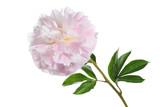 Beautiful gently pink peony isolated on white background. - 191849073