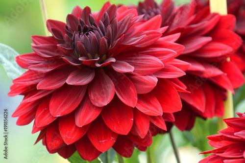 czerwona-dalia,-kwiat