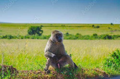 Foto Murales single baboon in grassland savanna