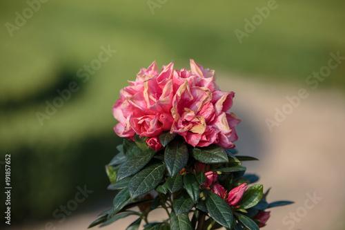 Fotobehang Azalea Blossoming Pink Azalea Flowers in a Garden