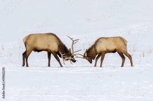 Males elk, or wapiti (Cervus canadensis) fighting in prairie on snow, Neal Smith National Wildlife Refuge, Iowa, USA.