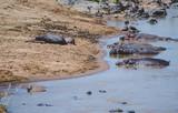 A herd of hippopotamus - 191863016