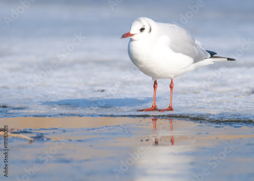 Foto op Aluminium Natuur Black Headed Gull