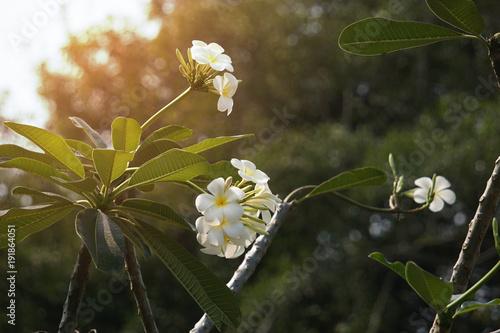 Fotobehang Plumeria White Plumeria flowers in the park.