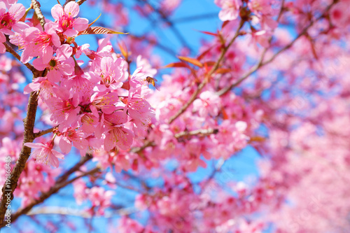 Foto op Canvas Candy roze Beautiful pink cherry blossom in spring. Sakura pink flower with nature background. Soft focus.