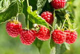 ripe raspberries in ...