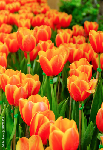 Fotobehang Tulpen orange tulip in a beautiful field.
