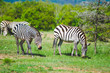 Two zebras in the plains of the massai mara