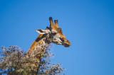Closeup of a giraffe - 191878827