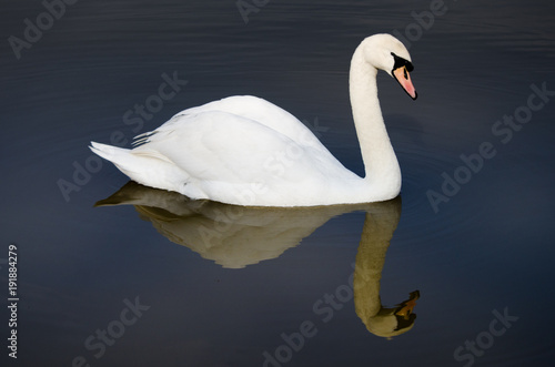Aluminium Zwaan swan with perfect reflection in lake