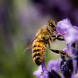 Lavender Bee Portrait