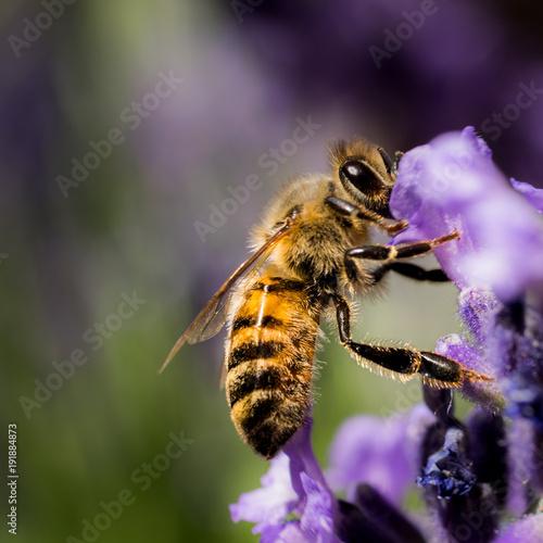 Poster Canada Lavender Bee Portrait