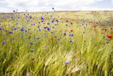 Blooming cornflowers and poppies in rye field