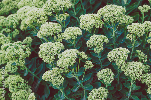 Papiers peints Londres green branches with lushy leaves and tiny white flowers