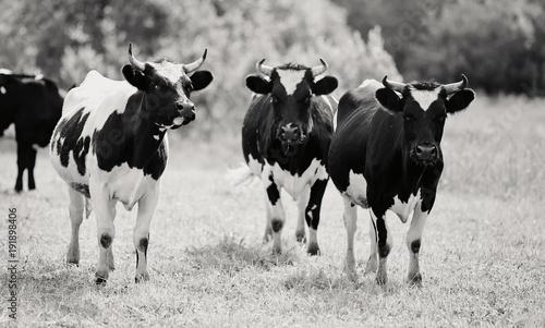 Not the color image of three young black-and-white bull-calves