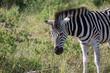Zebra in Afrika, Hluhluew Park Südafrika