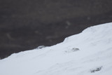 mountain hare, Lepus timidus, sitting in the snow on a slope in the cairngorm national park during winter, february.