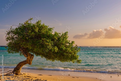 Foto op Plexiglas Tropical strand Divi Divi tree at sunset on the Caribbean beach of Aruba