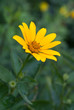 Blooming yellow flower in the garden