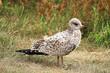 A juvenile Ring-Billed Gulls stands on grass