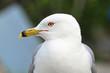 A closeup head portrait of a Ring-Billed Gull