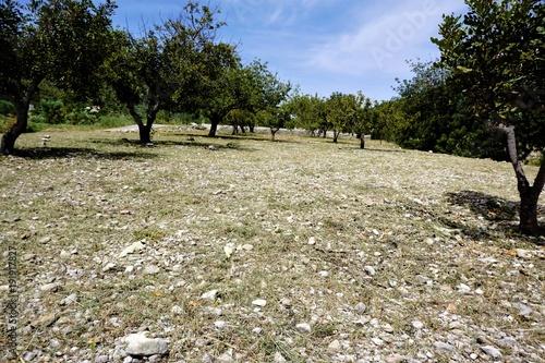 Citrus grove near the town Benigembla