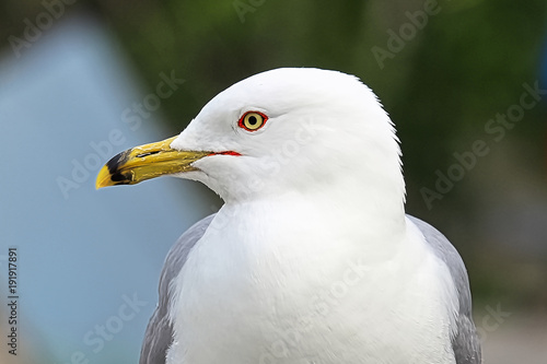 Aluminium Canada A closeup head portrait of a Ring-Billed Gull