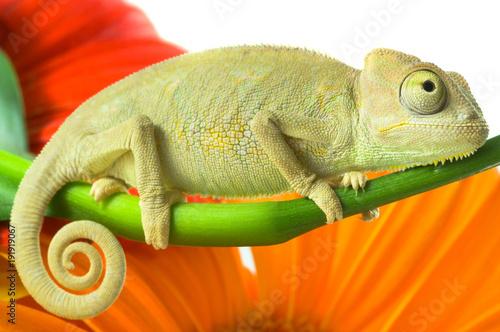 Fotobehang Kameleon animal