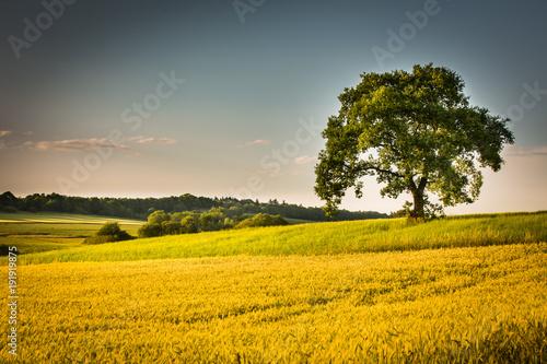 Aluminium Honing Getreidefeld mit Baum im Hunsrück