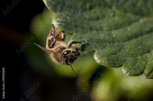 Aluminium Bee Honey bee close up