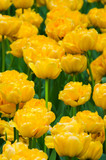lots of blooming yellow tulips - 191935014