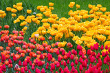 many flowering tulips on a flower bed - 191935292