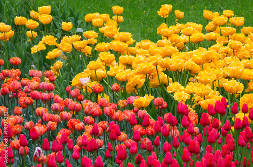 many flowering tulips on a flower bed