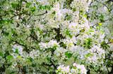 lush flowering tree Apple trees - 191935697