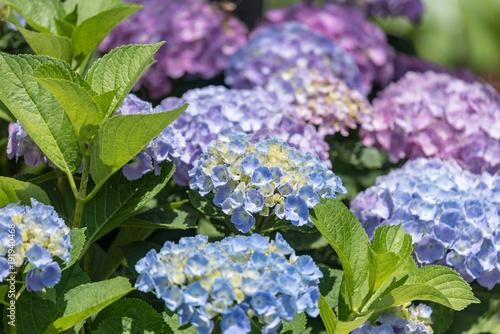 Aluminium Hydrangea 青いアジサイの花