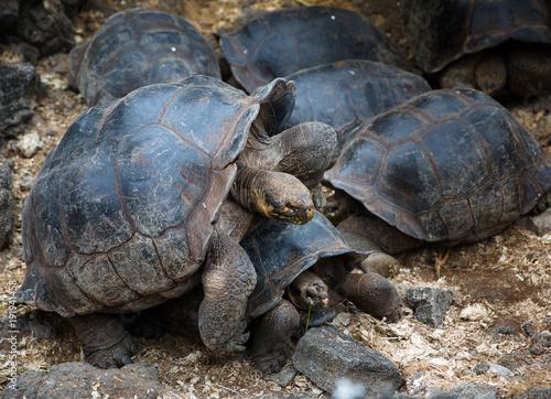 Fotobehang Schildpad Galapagos Turtle Mates