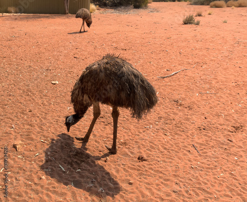Aluminium Koraal Emus looking for fod in red dirt in the Northern Territory of Australia