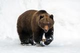 Wild brown bear in w...