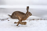 Hare running in the field - 191962245