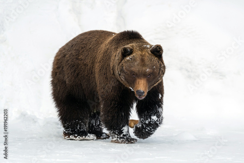 Foto op Canvas Natuur Wild brown bear in winter forest