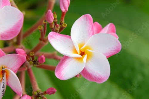 Fotobehang Plumeria plumeria flower blooming on tree - flower color white, pink and yellow, spa flower