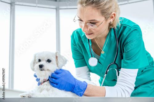 Fototapeta Female vet examines the fur of a dog